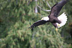 Eagles and other wildlife are plentiful on Prince of Wales Island Alaska