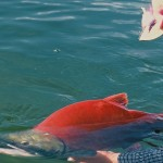 Alaska sockeye salmon caught fly fishing