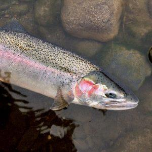Savoring the steelhead release is part of the fly fishing experience