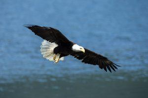 Bald eagle fishing in Southeast Alaska