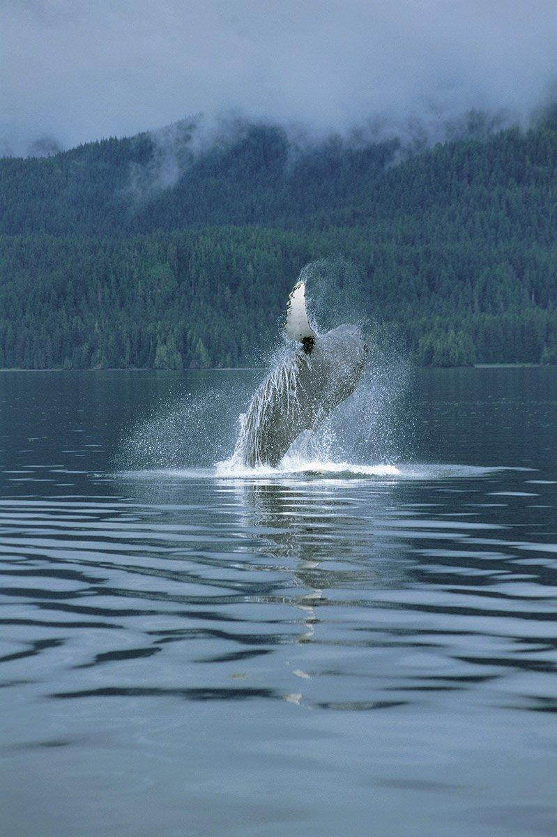 Gray whale breaching Southeast Alaska