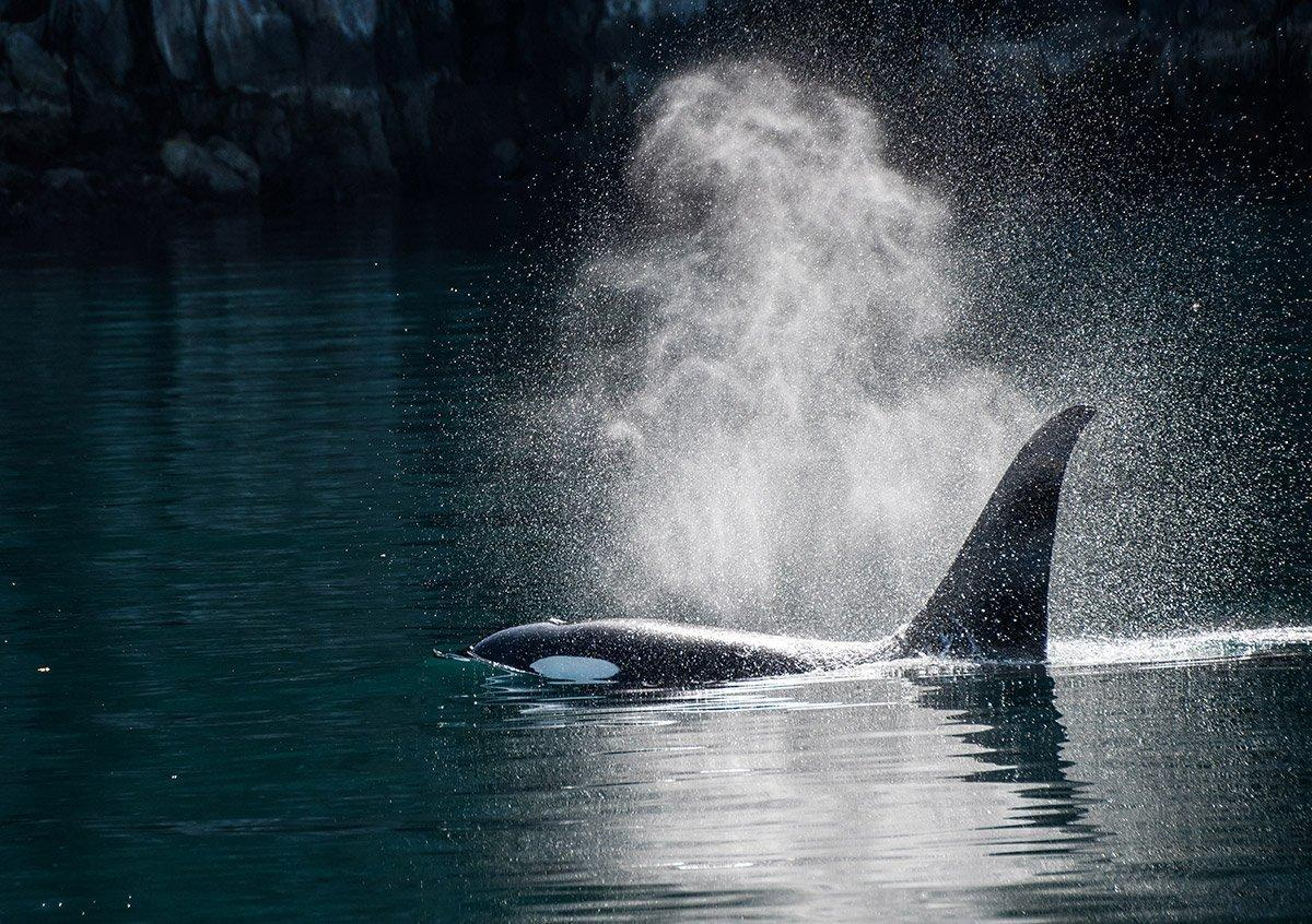Killer whale surfaces for air off Prince of Wales Island coast