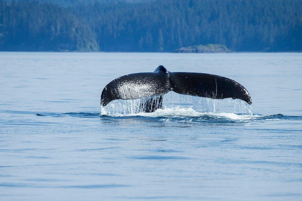 Gray whale gives a tail slap while surfacing off Prince of Wales