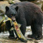 Black bear eating dog salmon fish pass
