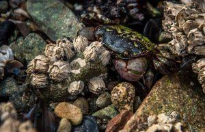 Crab hides among the rocks in nearby tide pool
