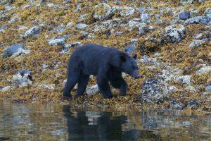 Prince of wales island bear fishing Anan Creek Bear Observatory