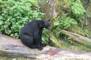 Prince of Wales Island black bear observatory at Dog Salmon Fishpass