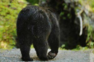 Prince of Wales Island bear walking down road