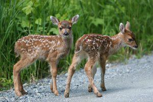 Sitka black-tailed deer fawns