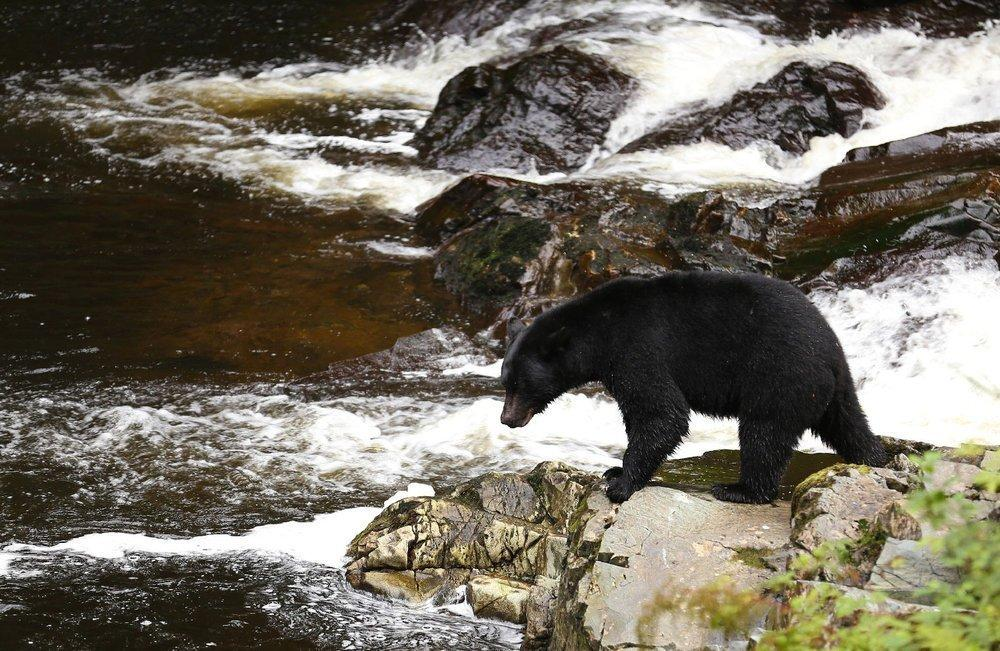 Southeast Alaska black bear salmon fishing