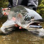 Steelhead angler releases his fish