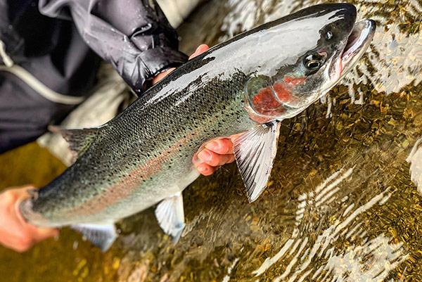 Steelhead trout like these spawn in Southeast Alaska each year
